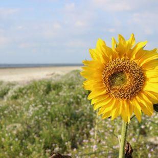 Sonnenblume am Strand