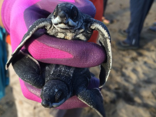 Baby turtles being rescued on the beach.