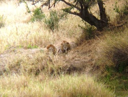Lions lazing in the shade