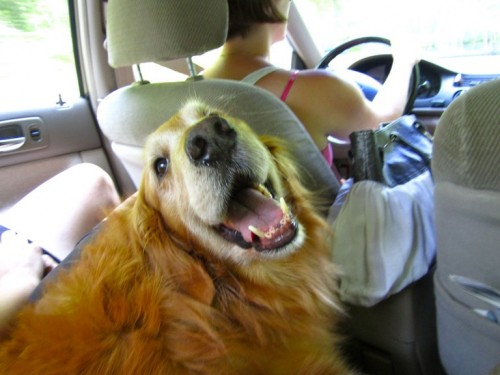 Four people + one large golden retriever sharing Maura's car makes this dog a good sport!
