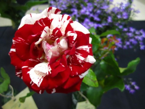 The Asheville-Blue Ridge Rose Society Rose Exhibition filled an entire auditorium with cut roses!