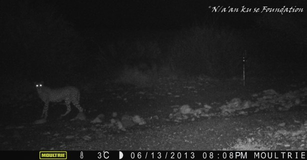 Cheetah pauses at camera-trap, Neuras, Namibia