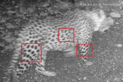 Leopard photographed with a camera trap on July 3rd in a streambed below the Naukluft Mountains on the Neuras Wine & Wildlife Estate, Namibia.