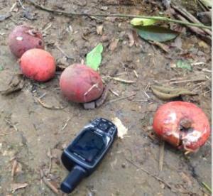 Elephants feast on the large ripe fruits of Gambeya