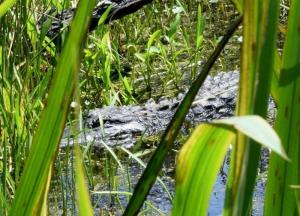 An alligator hiding withing a freshwater impoundment, very much like those in former rice plantations.