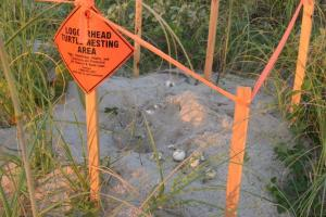 DNR Labeled Sea Turtle Nest. This nest has likely be the victim of predation.