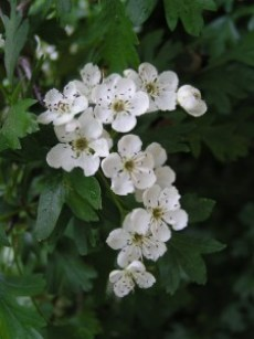 Hawthorn flowers make a tea that could provide heart benfits. Photo: Eugene Zelenko, Creative Commons, some rights reserved