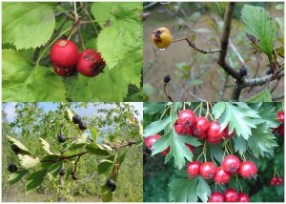 Four varieties of haw or thornapple, fruit of the hawthorn. Makes a good jelly. Photo: Nadiatalent, Creative Commons, some rights reserved