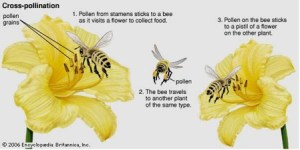 Introduction   Conservation of Honey Bees