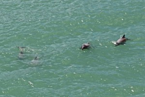 Hectors dolphins just outside of Lyttleton Harbor, NZ.  The viewing of a lifetime!
