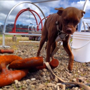 Luna Tunes inspects an errant chain link and wonders why we didn't use this as an anchor.
