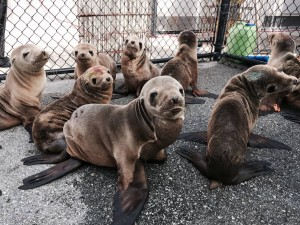 Seal pups to be rehabilitated (Credit: Marine Mammal Center, http://www.marinemammalcenter.org/)