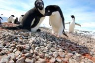 A rightly suspicious Adelie penguin pair guarding a small chick