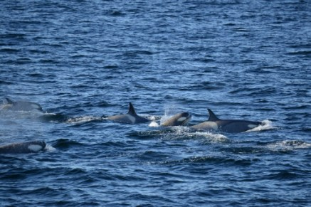 A group of around forty killer whales was spotted not far from Palmer station