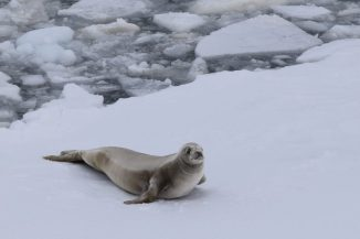 A crabeater seal contemplating moving farther away from the ship's path