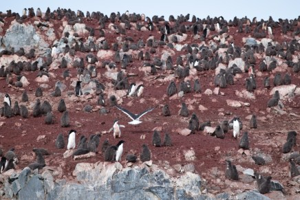 Adelie penguin (Pygoscelis adeliae) colony on Avian Island