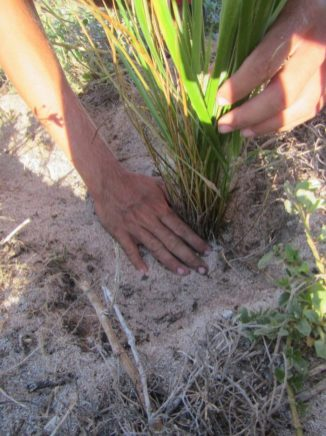 Planting Kawelu (native bunch grass) on Kure atoll following the removal of other invasive grasses