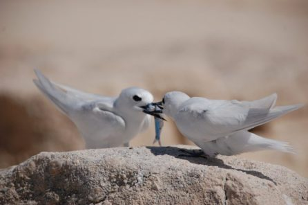 A white (fairy) tern bringing food back for its growing chick