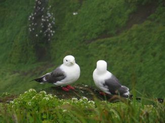 red-legged kittiwakes