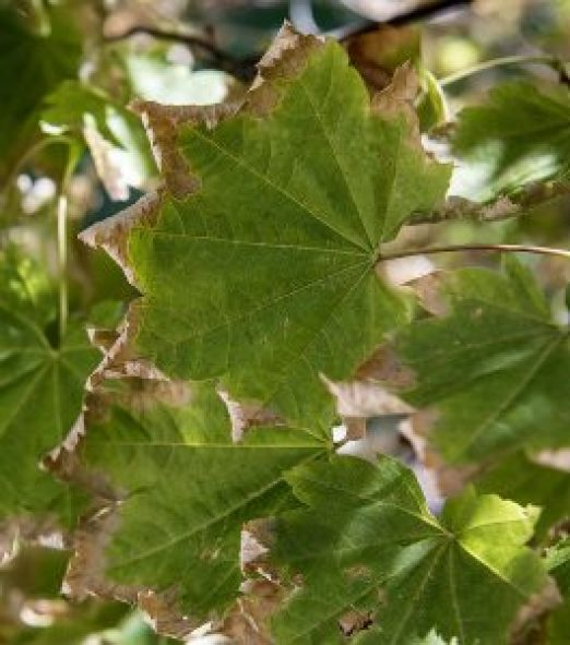 Vine maple leaves suffering from heat stress