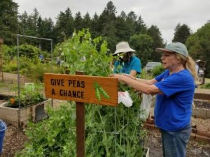 Master Gardeners harvest peas at Jenkins Estate Garden, in front of sign that says 'Give Peas a Chance'