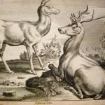 Elk (Animals of Various Species)