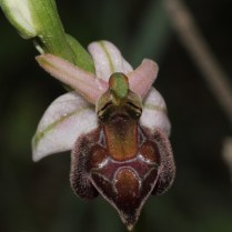 Other local orchid - this one has characteristics of Ophrys elegans