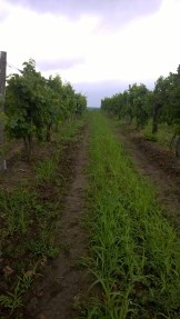 The site of fungicide trials in Tokaj, Hungary