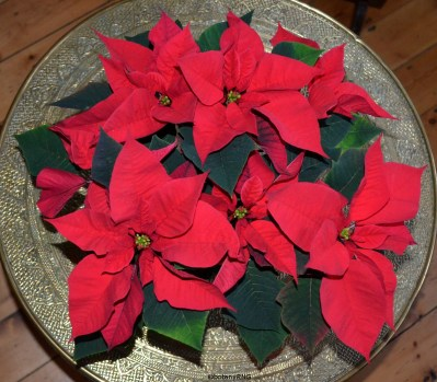 Day 23 - A poinsettia from a UK supermarket providing Christmas colour.