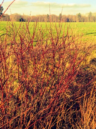 Red osier dogwood growing in a ditch