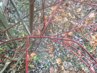 Winter stems