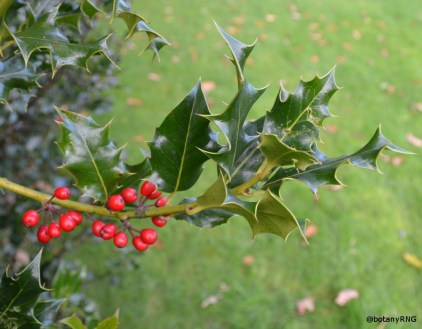 Wild-type Holly