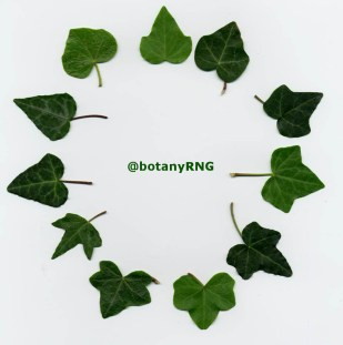 Each of these leaves is from a different Hedera taxon but many look highly similar
