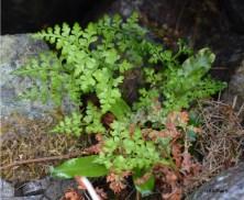 Asplenium adiantum-nigrum (Aspleniaceae)