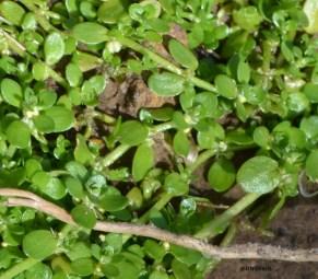 Callitriche stagnalis (Plantaginaceae)