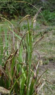 Carex pendula (Cyperaceae)