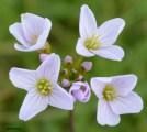 Cardamine pratensis (Brassicaceae)