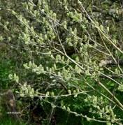 Salix cinerea (Salicaceae)