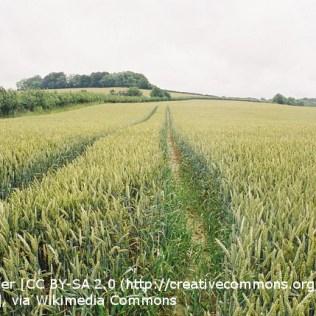 A field of unripe wheat (Corn)