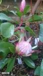 King Protea flowering in Wales