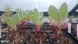 Seedlings of Protea stokei