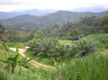 Grown in open space-Tawau, Sabah. Picture by Liew.