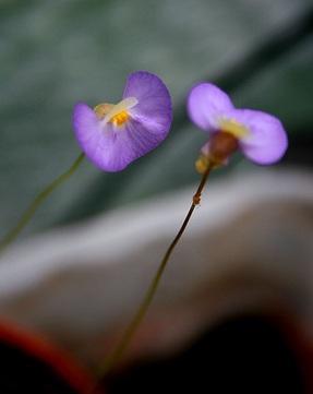 Utricularia paulineae