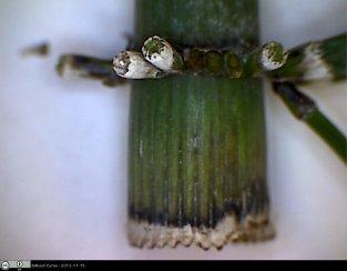 Ridged stem