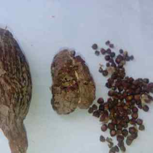 pods and seeds when dry