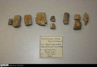 Fossilized Equisetum Rhizomes