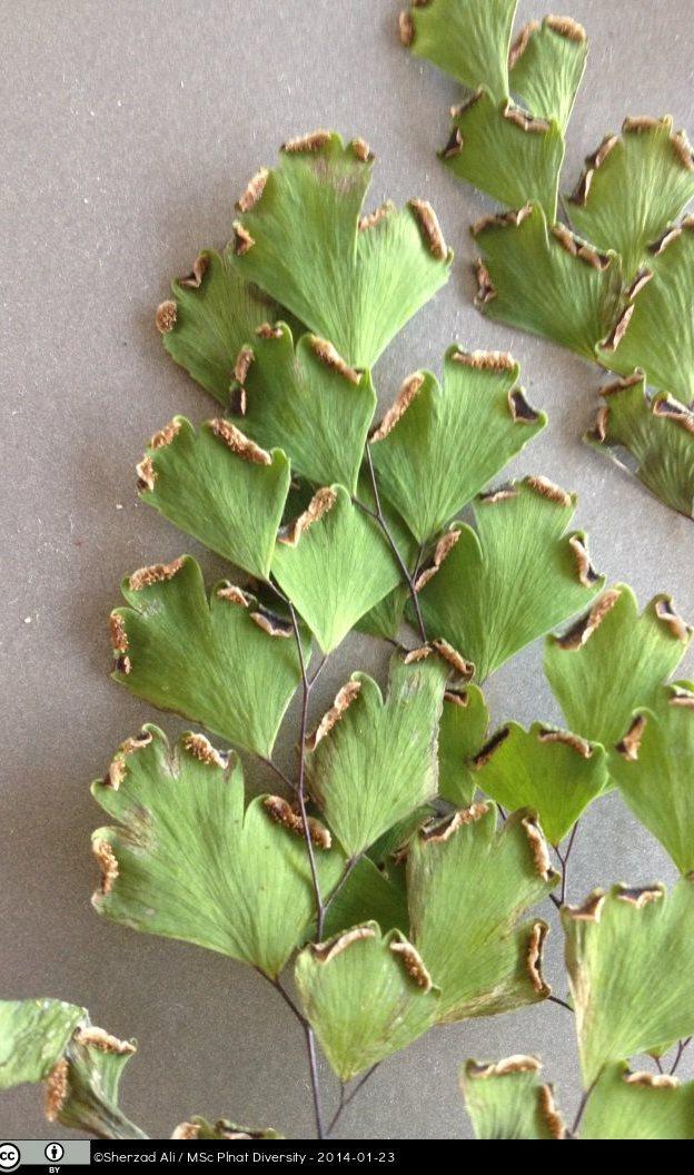 Adiantum Capillus Veneris Tropical Biodiversity