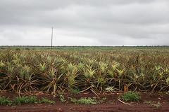 Pinneapple field (Wiki Commons)