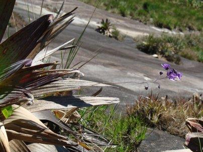 Utricularia nelumbifolia (Lentibulariaceae) growing inside Alcantarea sp. water tank
