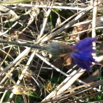??? too small for Cornflower